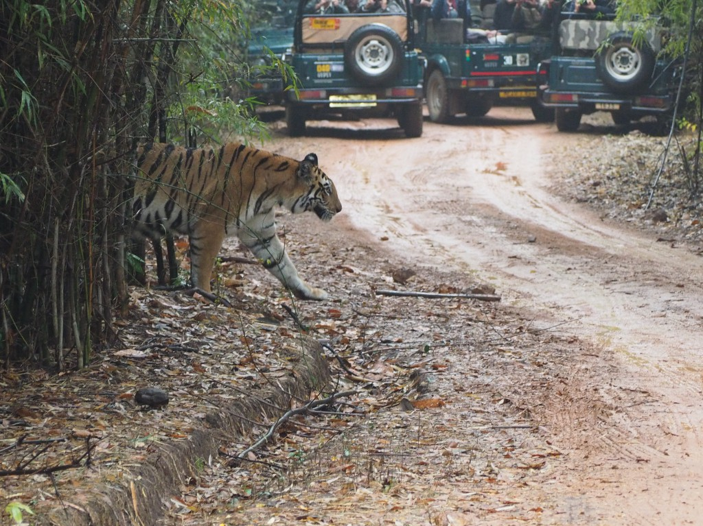 In Bandhavgarh National Park, the mother tiger crossed the road in front of us first before the cubs