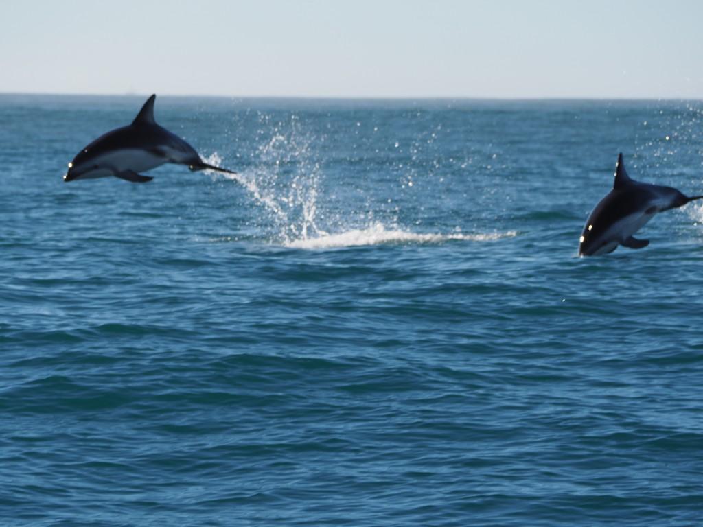 Jumping dusky dolphins!