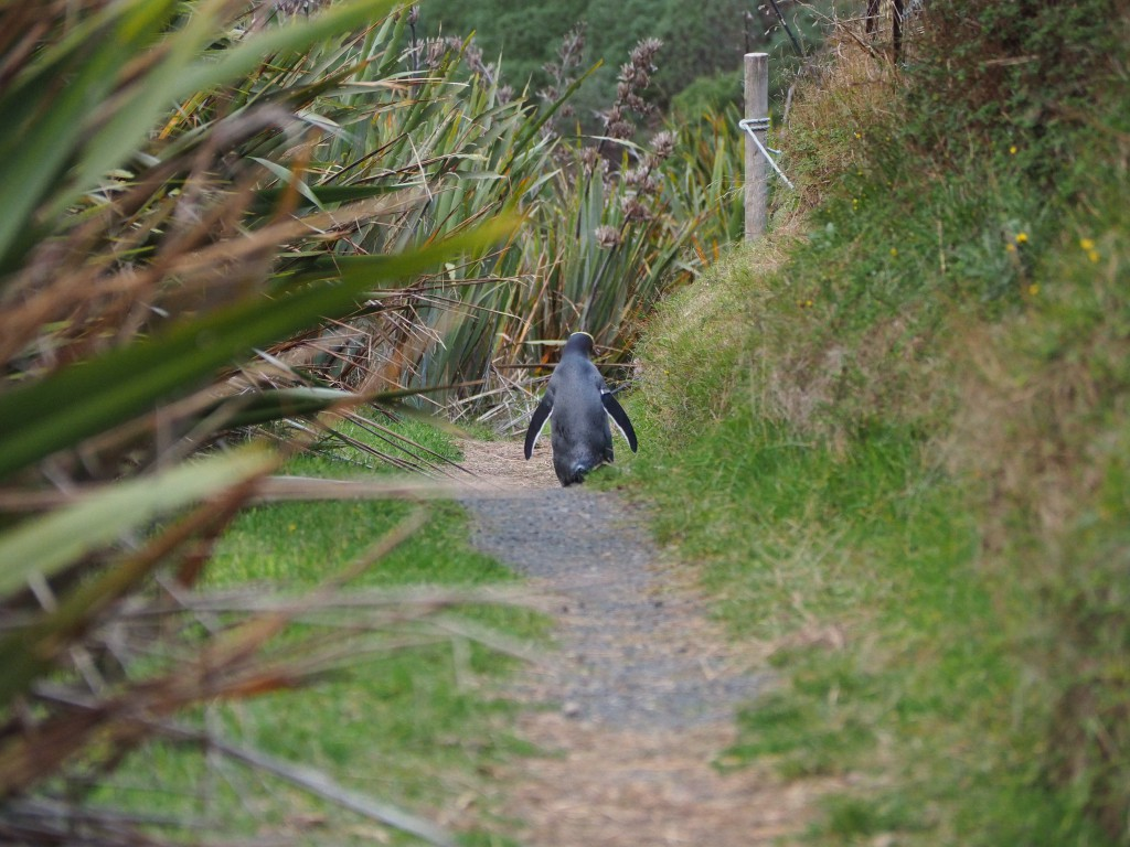 Penguin walking down the road