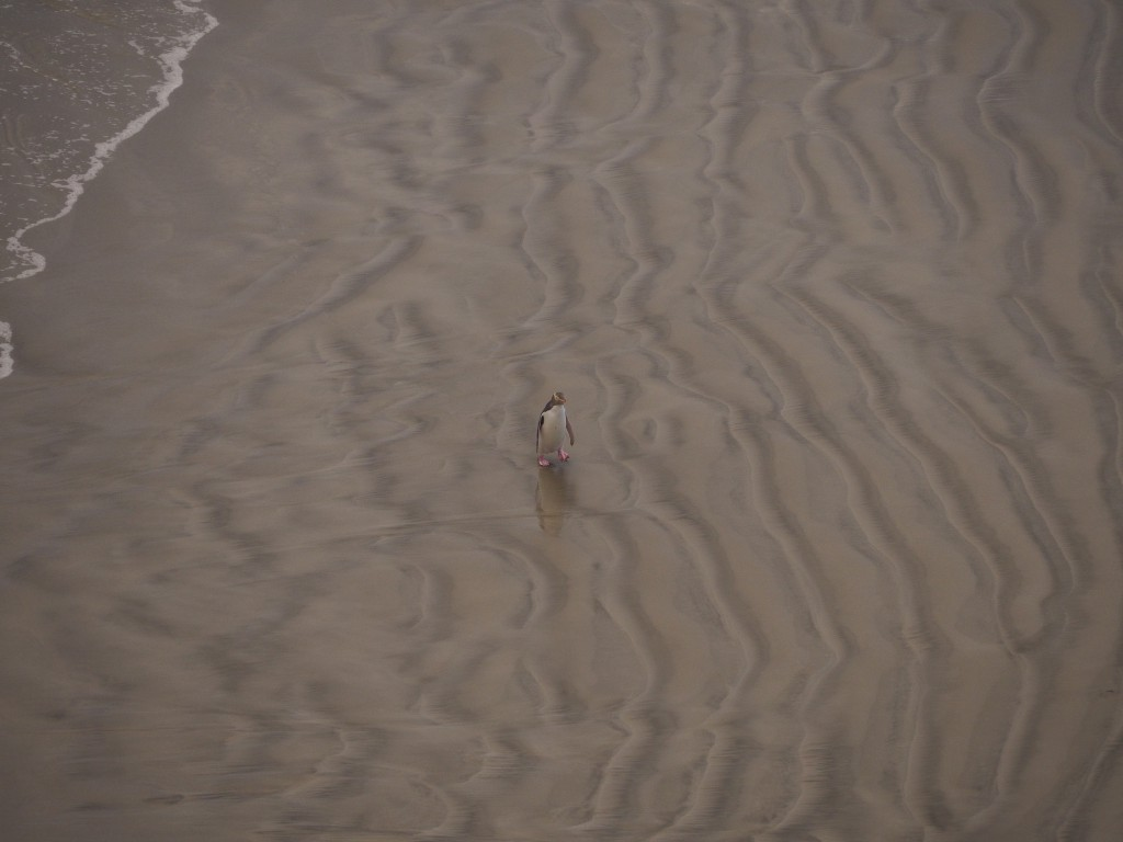 A lone penguin making its way home from sea