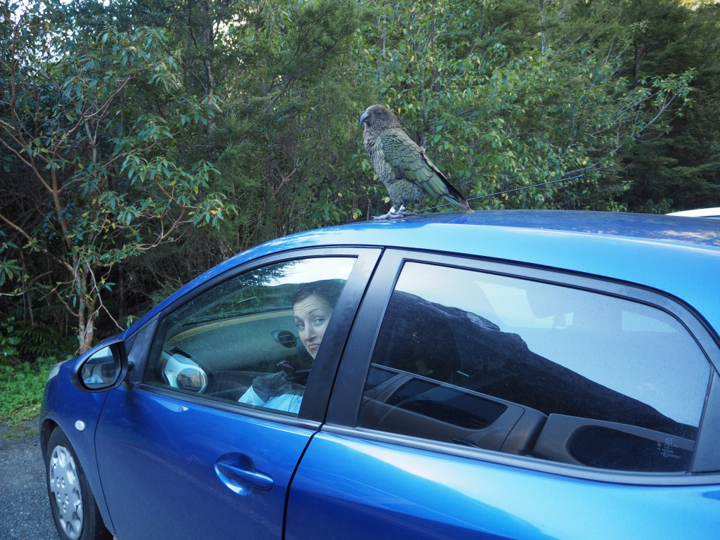 Kea parrot holding Hats hostage! It wanted to steal our things...