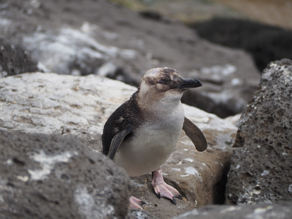 Small penguins chilling out in the rocks in St Kilda