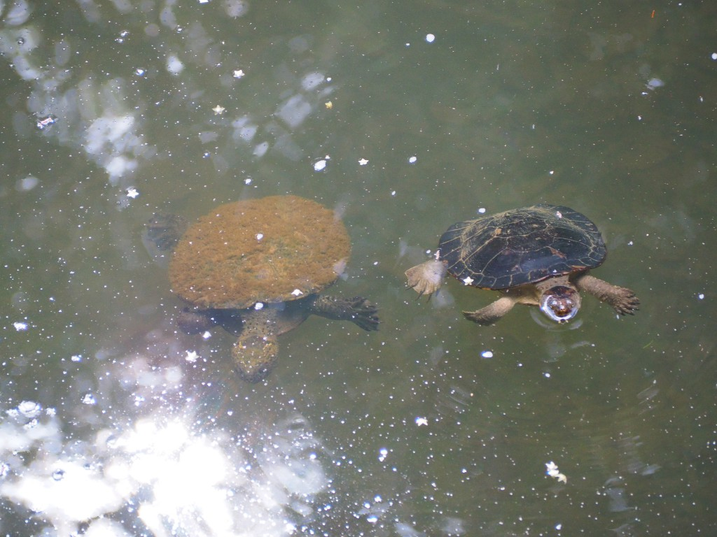Turtles sharing the water with platypuses at Eungella (although these weren't shy for a picture)