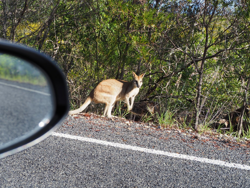Driving past kangaroos on the way to Cape Hillsborough National Park