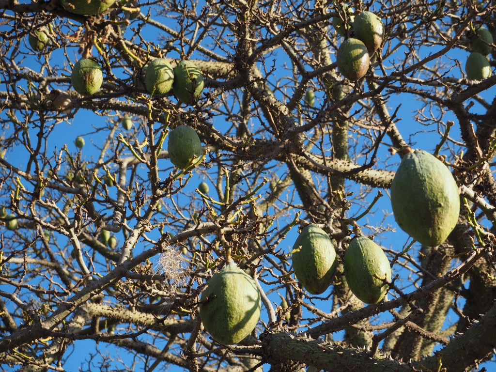 Fresh avocados hanging from a tree on one of the many squares of the city