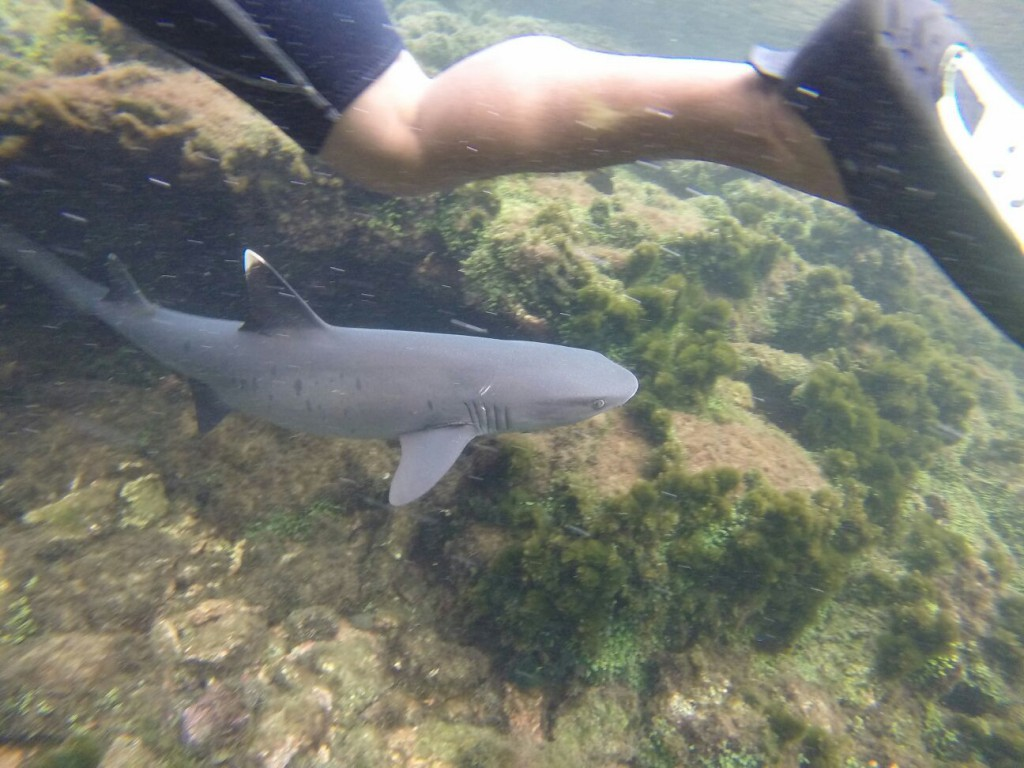A white-tip reef shark near Los Tunneles - thankfully they're not interested in human limbs