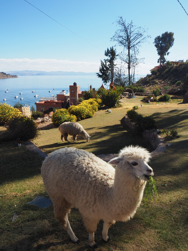 Llamas/alpacas (we have learnt the difference and forgotten it many times) in front of Lake Titicaca in Copacabana