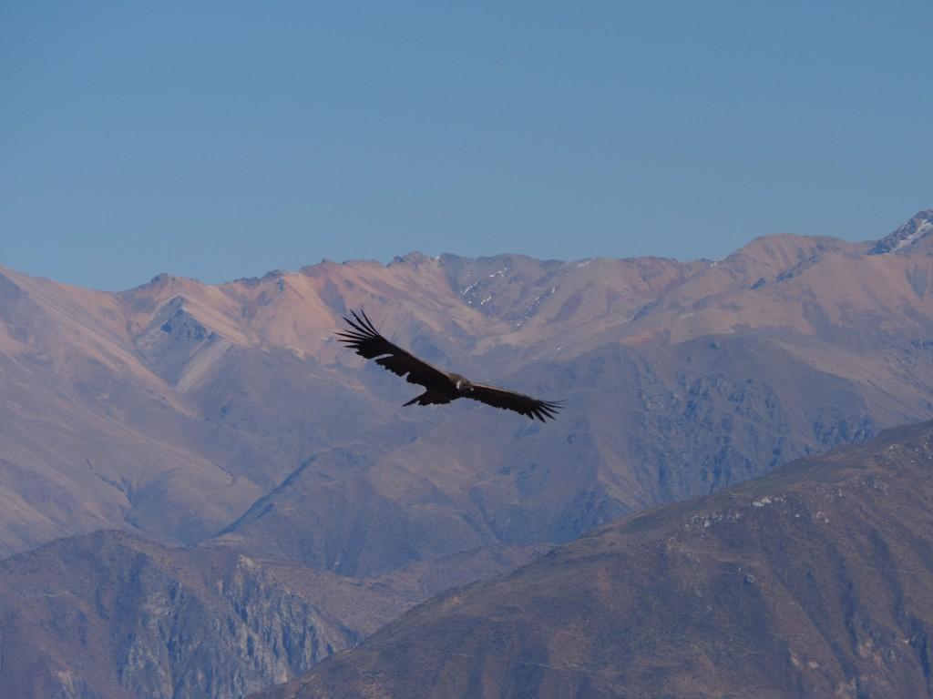 A condor in flight through the mountainous valley