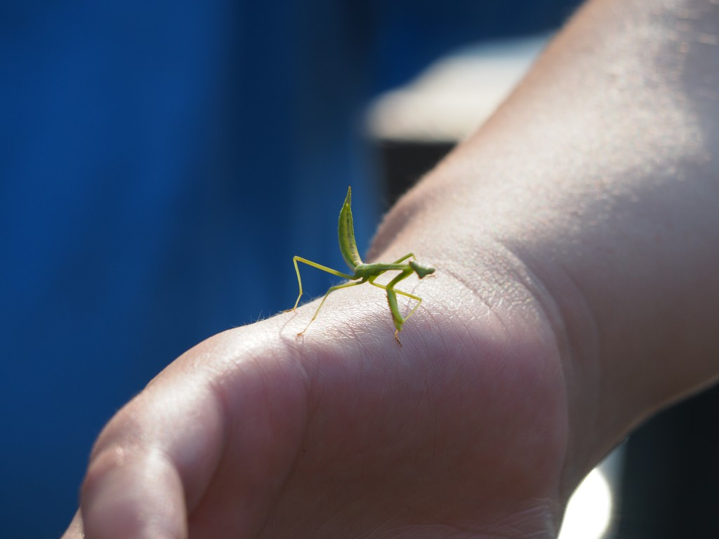 A praying mantis landed on someone's hand