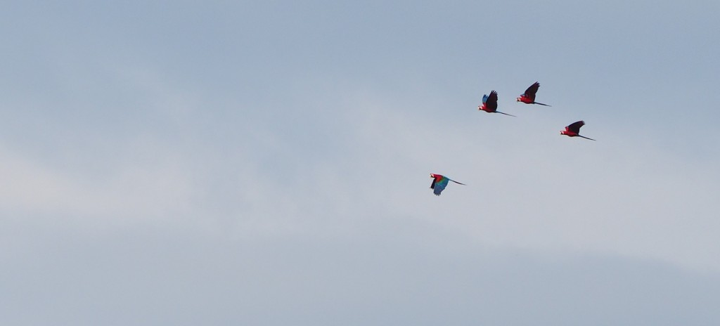 Macaws flying overhead in the Amazon