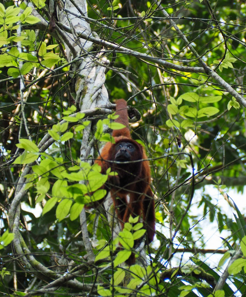 A howler monkey using his tail to grip on to a branch
