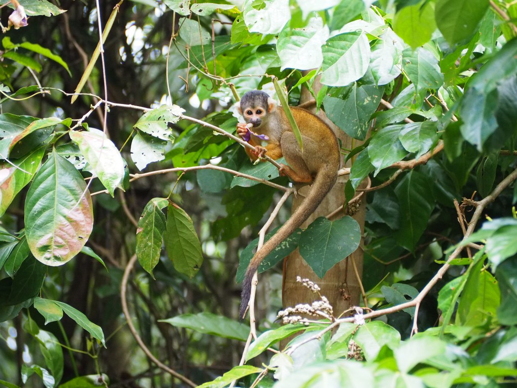 One of hundreds of tiny squirrel monkeys just outside our room