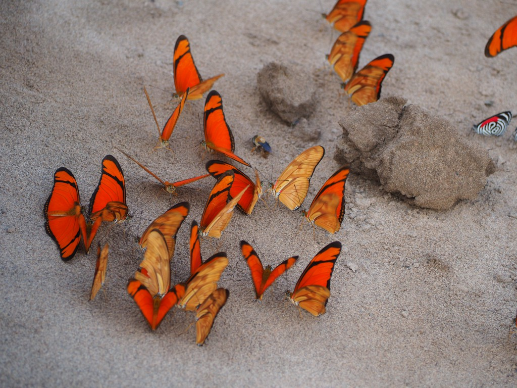 Butterflies found in large groups on the clay banks