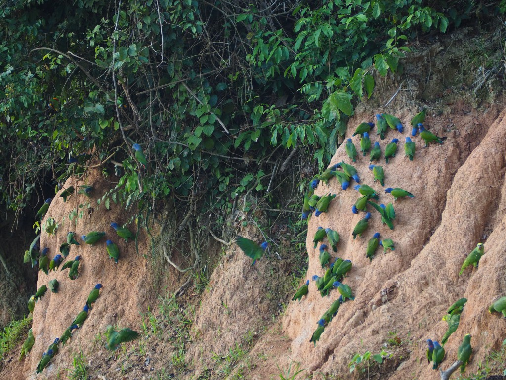 Loads of parrots land on the clay every morning to lick it for the sodium it contains