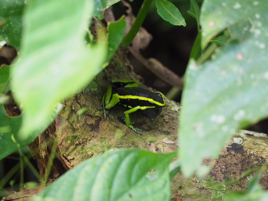Poison dart frog - small and cute, but I'm sure very deadly