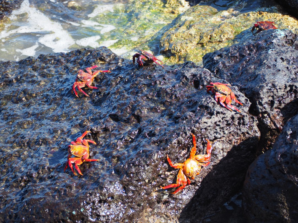 As soon as we arrived on th islands there were animals to see, for example here are lots of Sally Lightfoot crabs by the port of Puerto Ayora