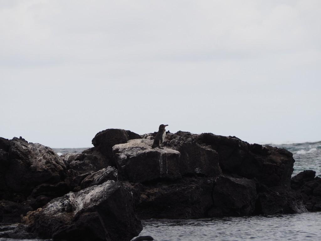 Penguin spotting on the boat back to Puerto Villamil