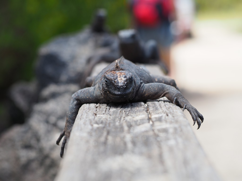 This bridge was full of lazy marine iguanas, one seen here spread out on the hand rail