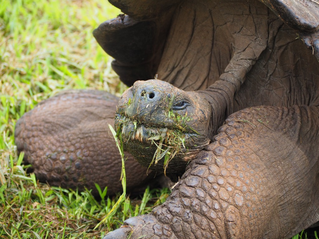 A greedy Galapagos giant tortoise unashamedly stuffing his face