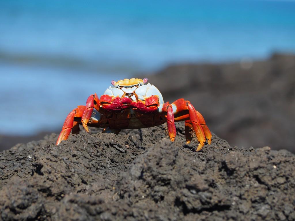 A colourful Sally Lightfoot crab up close at Dragon Hill