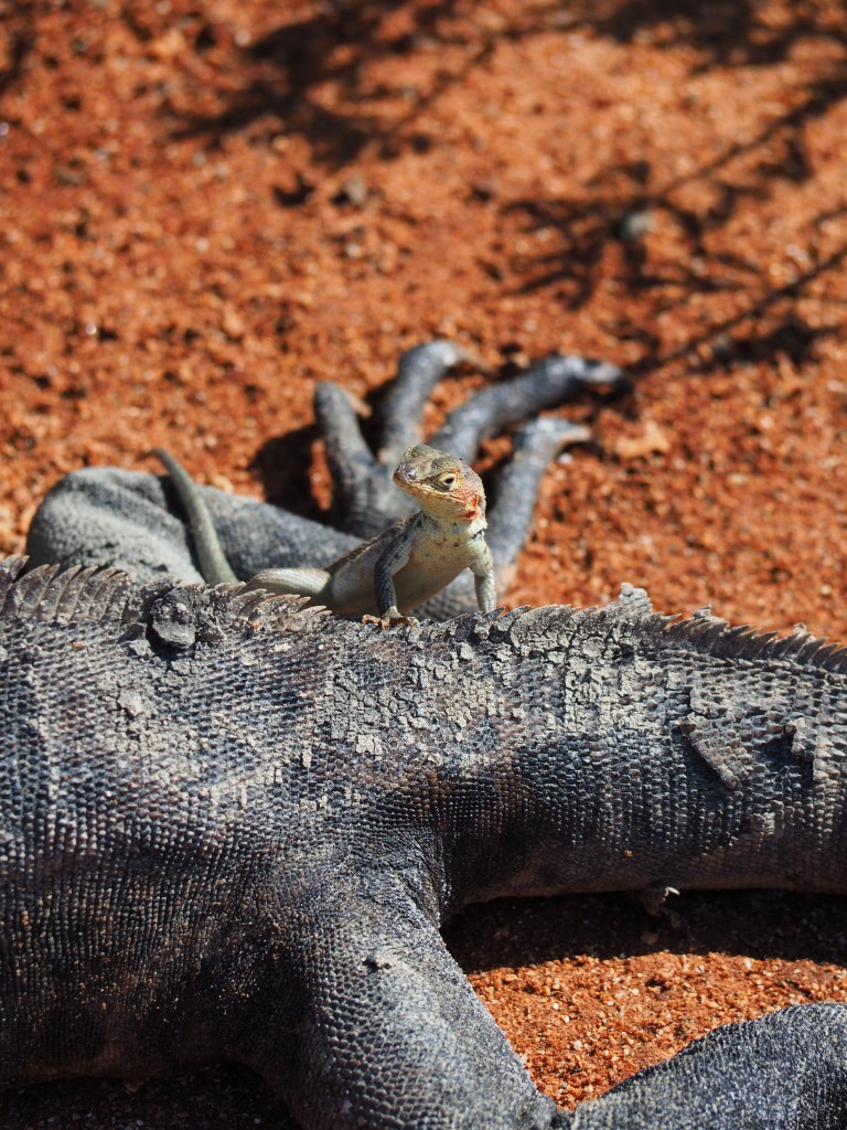 A lava lizard perching on a marine iguana - this happened much more than you'd think