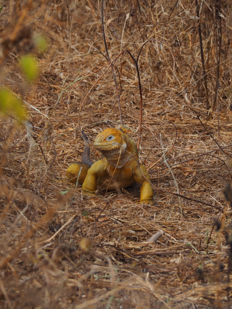 A very colourful land iguana at Dragon Hill
