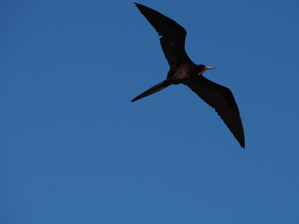 A frigate bird flies overhead