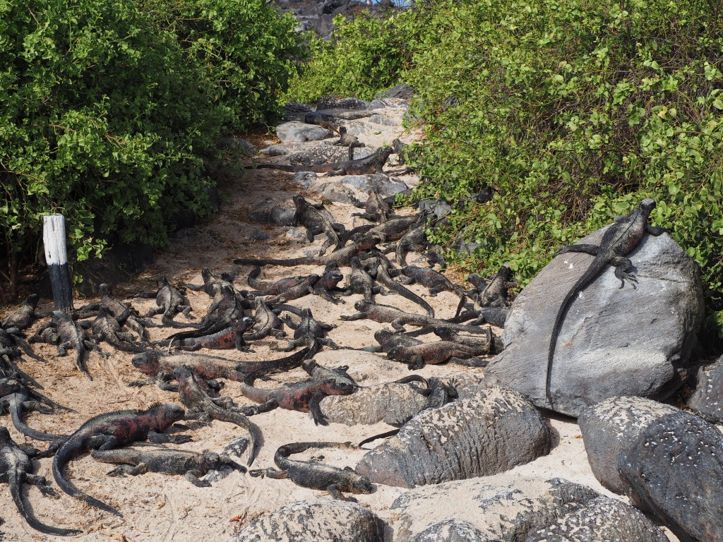 Marine iguanas blocking our path so we had to take an alternative route