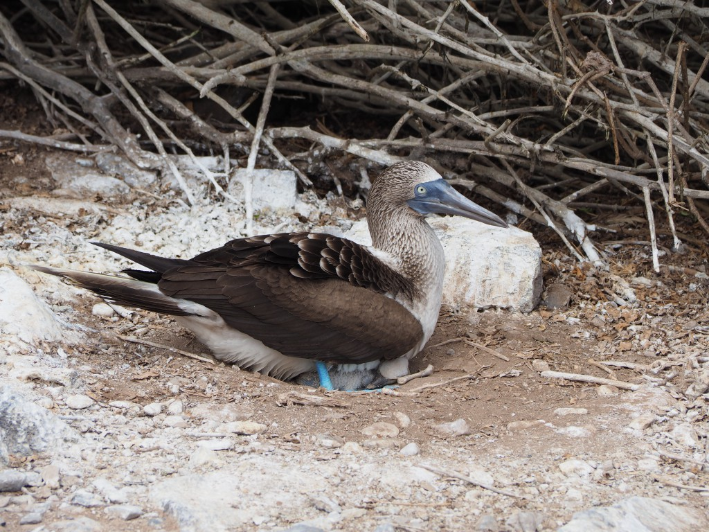 Blue footed boobie nesting a chick underneath