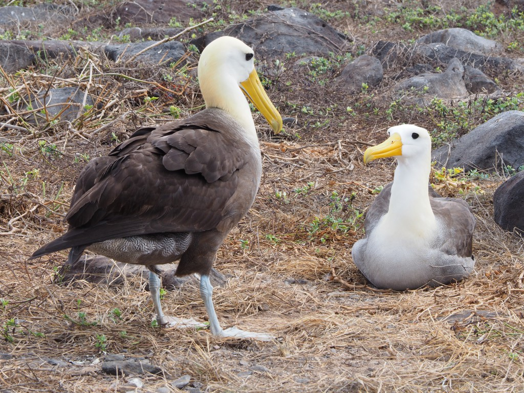 A large-waved albatross couple on Espanola island