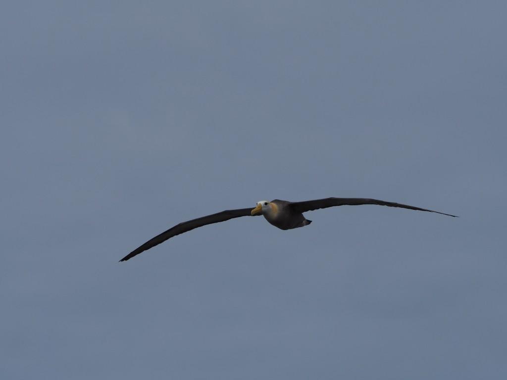 Albatross in flight with its huge wingspan