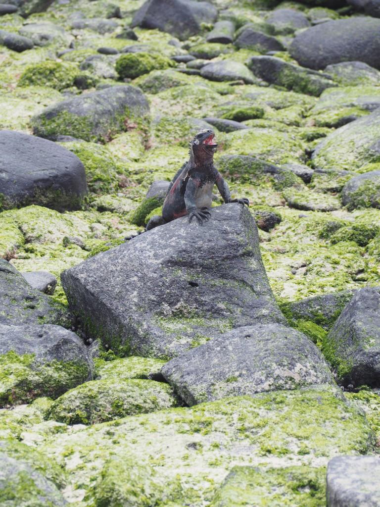 A marine iguana yawning