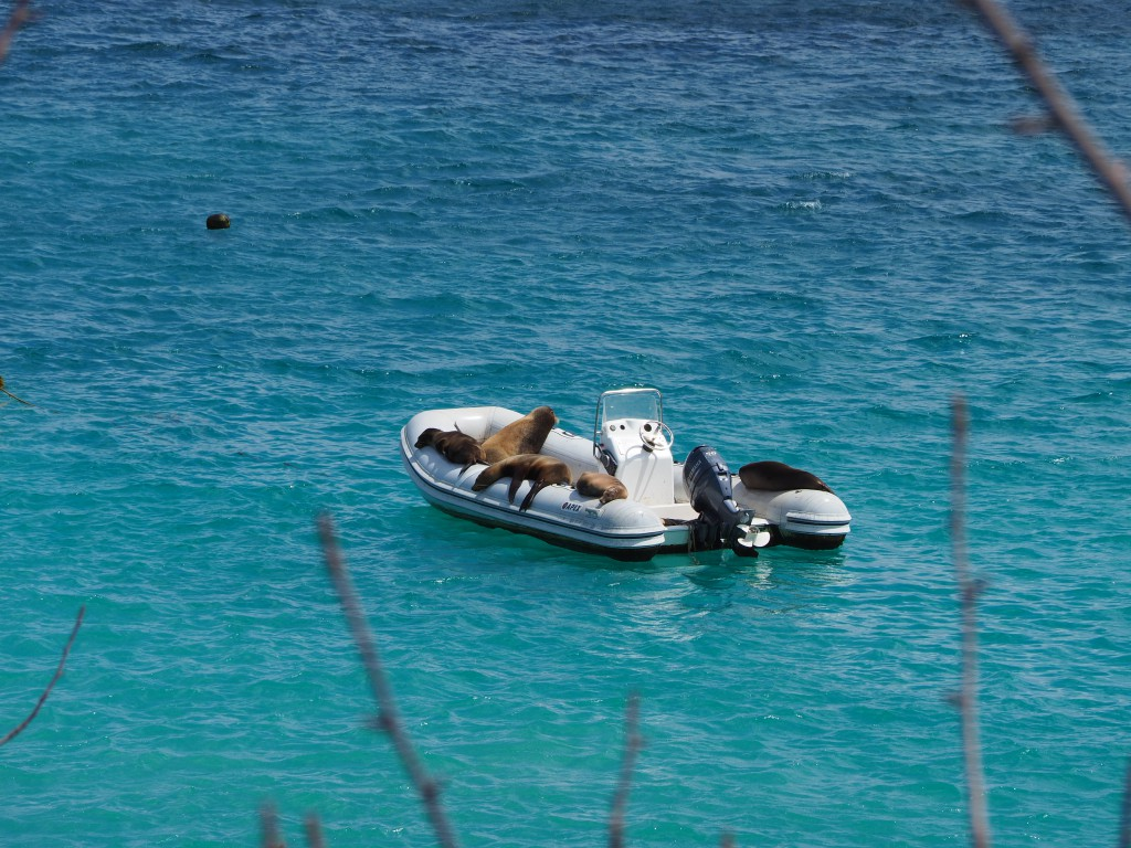 Sea lions took advantage of anything they could have a sleep on, including this speedboat