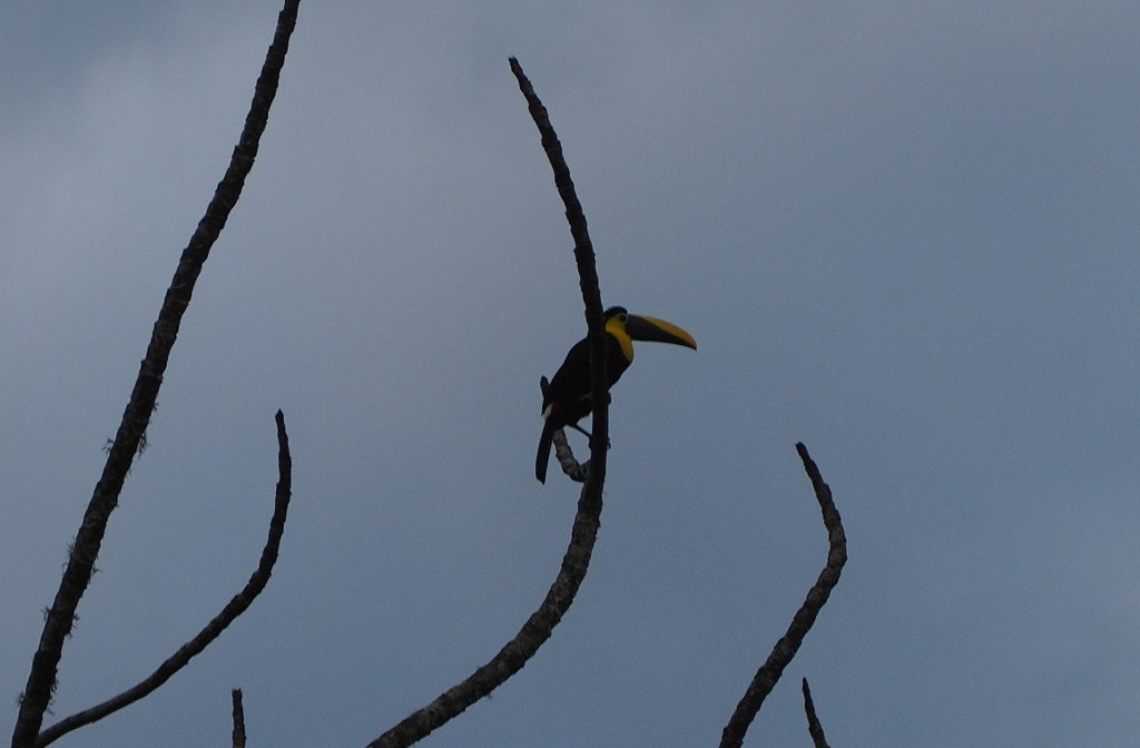 This toucan was close enough for me to get a picture, otherwise it was all binoculars and telescopes!