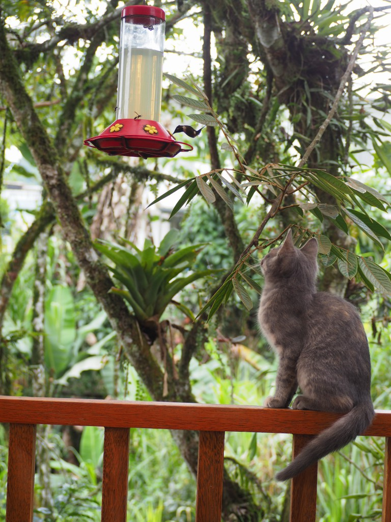 A kitten captivated by the hummingbirds at a cafe in Mindo!